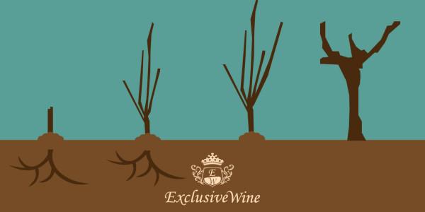 coltivazione-vite-vitigno-impianto-vigneto-allevamento-potatura-vendemmia-portale-ricerca-cantine-enoteche-exclusive-wine-1250x616
