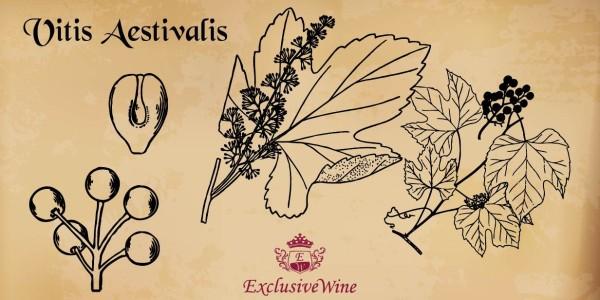 vitis-aestivalis-tipologie-vitigni-caratteristica-pianta-portale-ricerca-cantine-vini-enoteche-exclusive-wine-1250x616