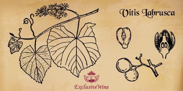 vitis-labrusca-tipologie-vitigni-caratteristica-pianta-portale-ricerca-cantine-vini-enoteche-exclusive-wine-1250x616