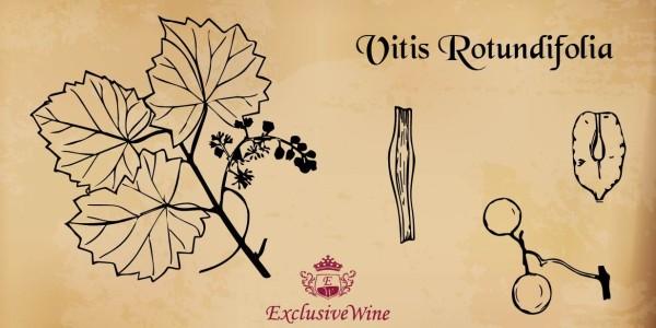 vitis-rotundifolia-tipologie-vitigni-caratteristica-pianta-portale-ricerca-cantine-vini-enoteche-exclusive-wine-1250x616