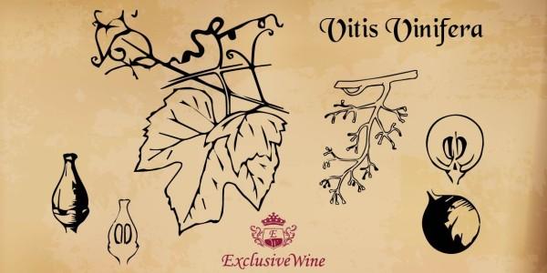 vitis-vinifera-tipologie-vitigni-caratteristica-pianta-portale-ricerca-cantine-vini-enoteche-exclusive-wine-1250x616