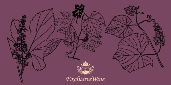vitis-vite-arbusto-arborea-caratteristiche-pianta-portale-ricerca-vini-cantine-enoteche-portale-ricerca-cantine-enoteche-vini-exclusive-wine-1250x616